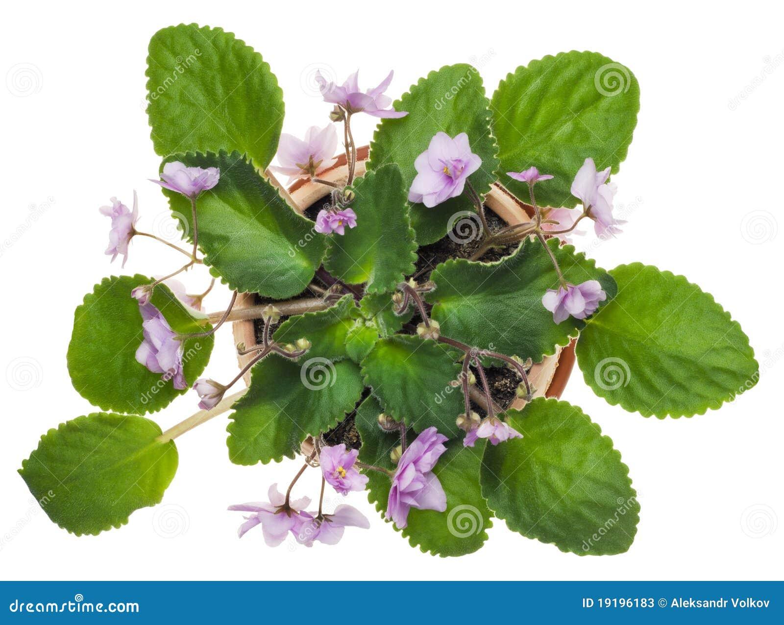 нежно вырастите фиолеты розового бака малые