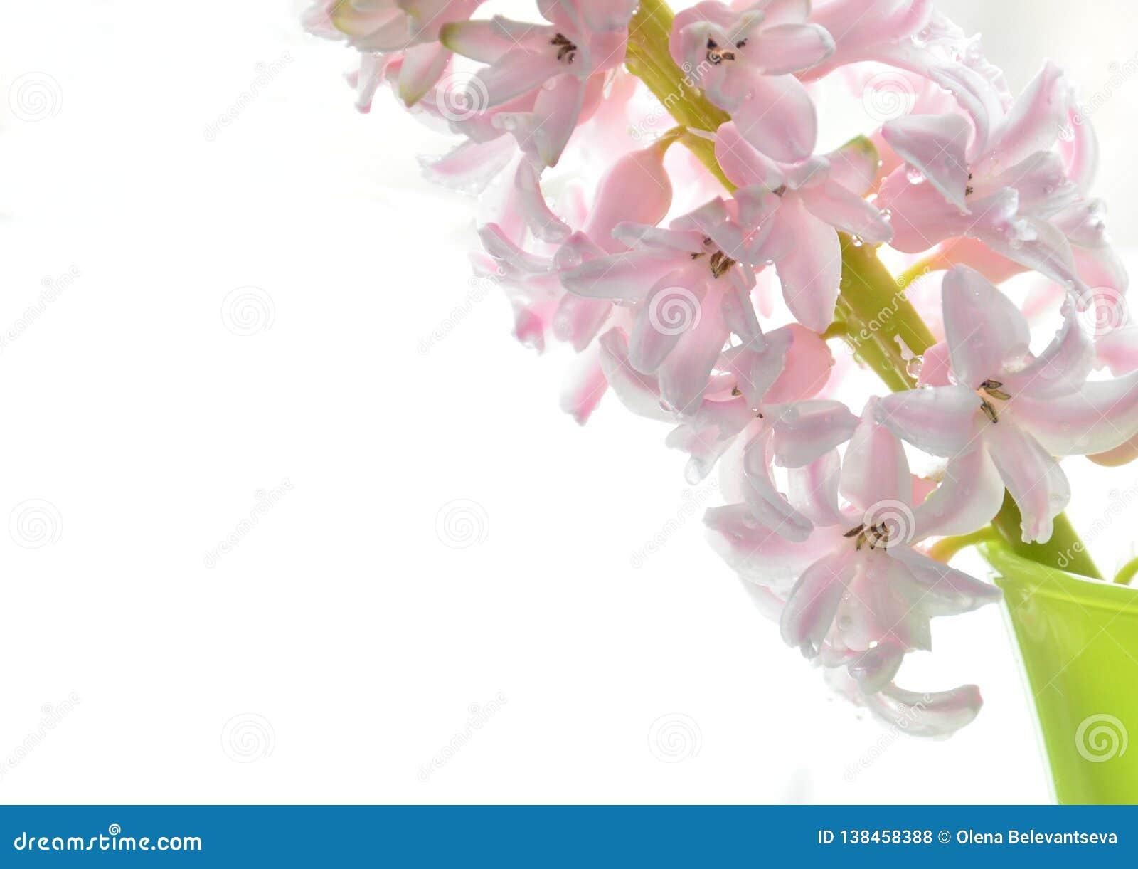 Нежные розовые цветки гиацинта близко вверх, открытый космос для текста, концепция весны и день Валентайн