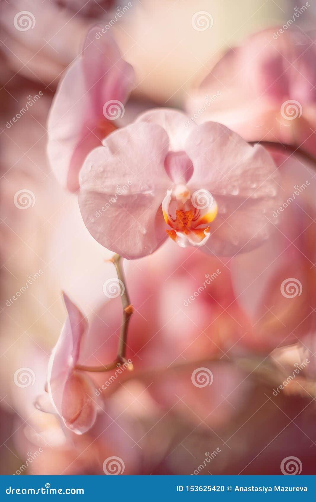 Нежные розовые цветки Орхидеи в саде