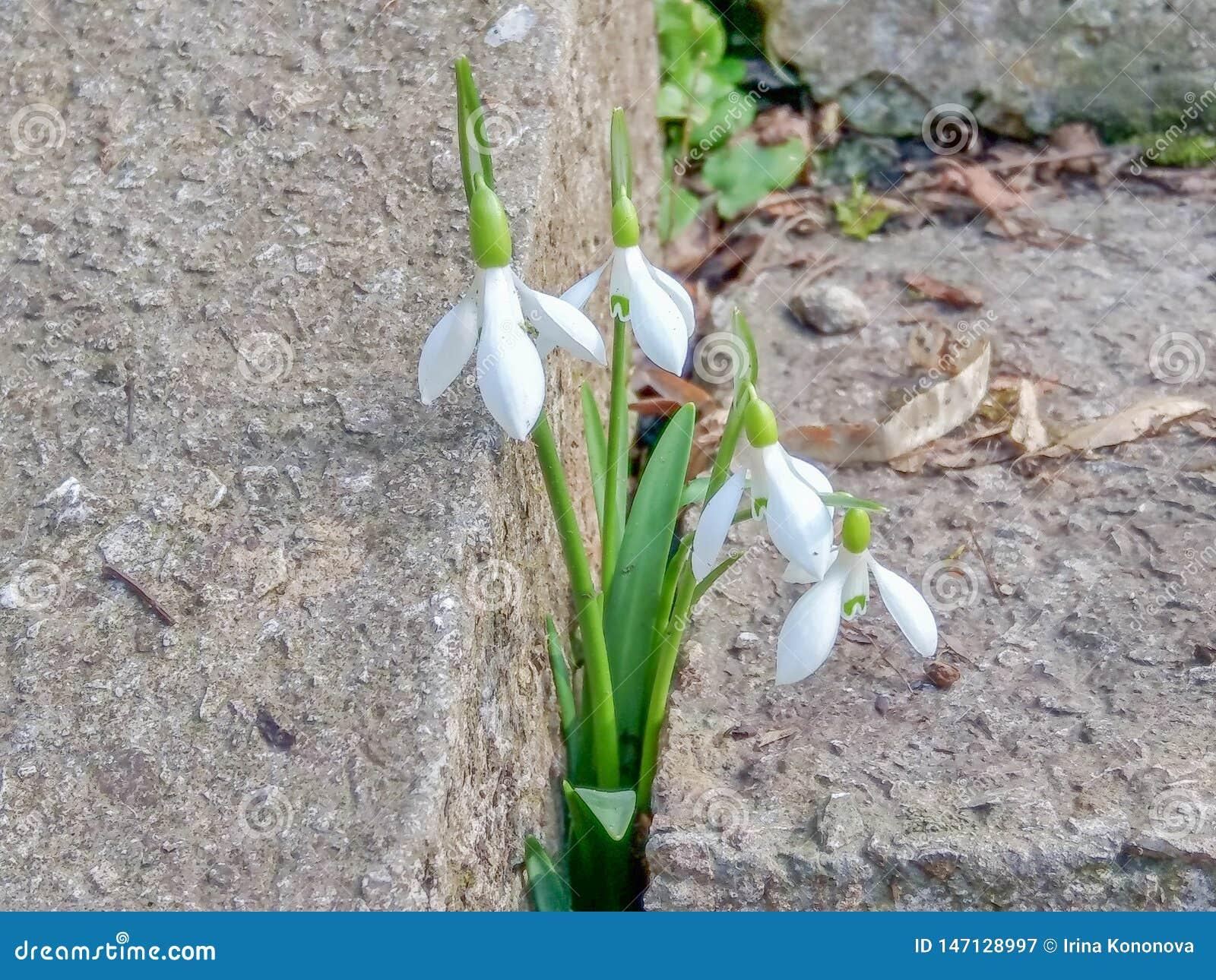 Нежные snowdrops сделали их путь через бетон к весне