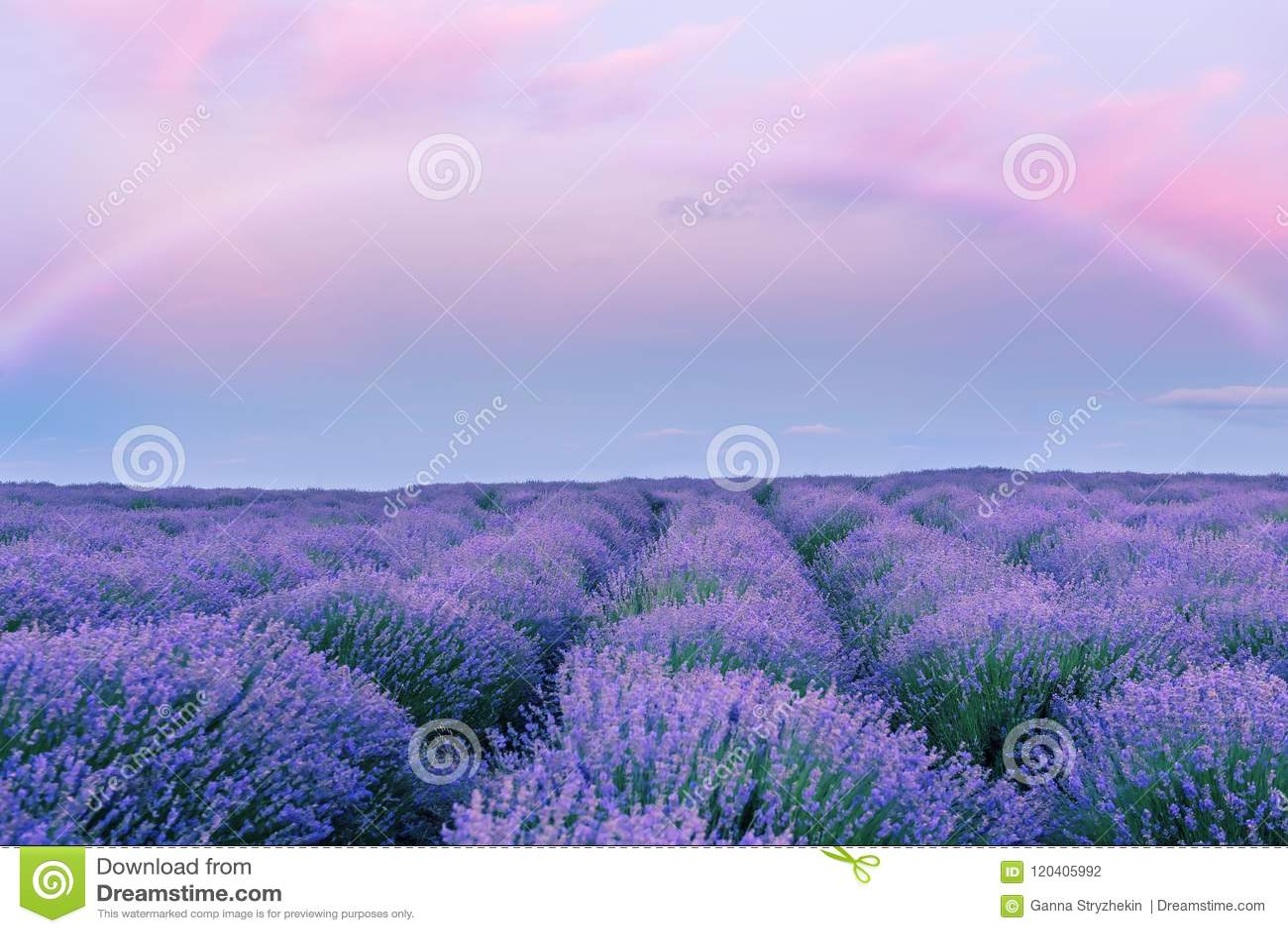 Нежный розовый заход солнца в поле лаванды и fairy радуге фантазия Цвести лаванды