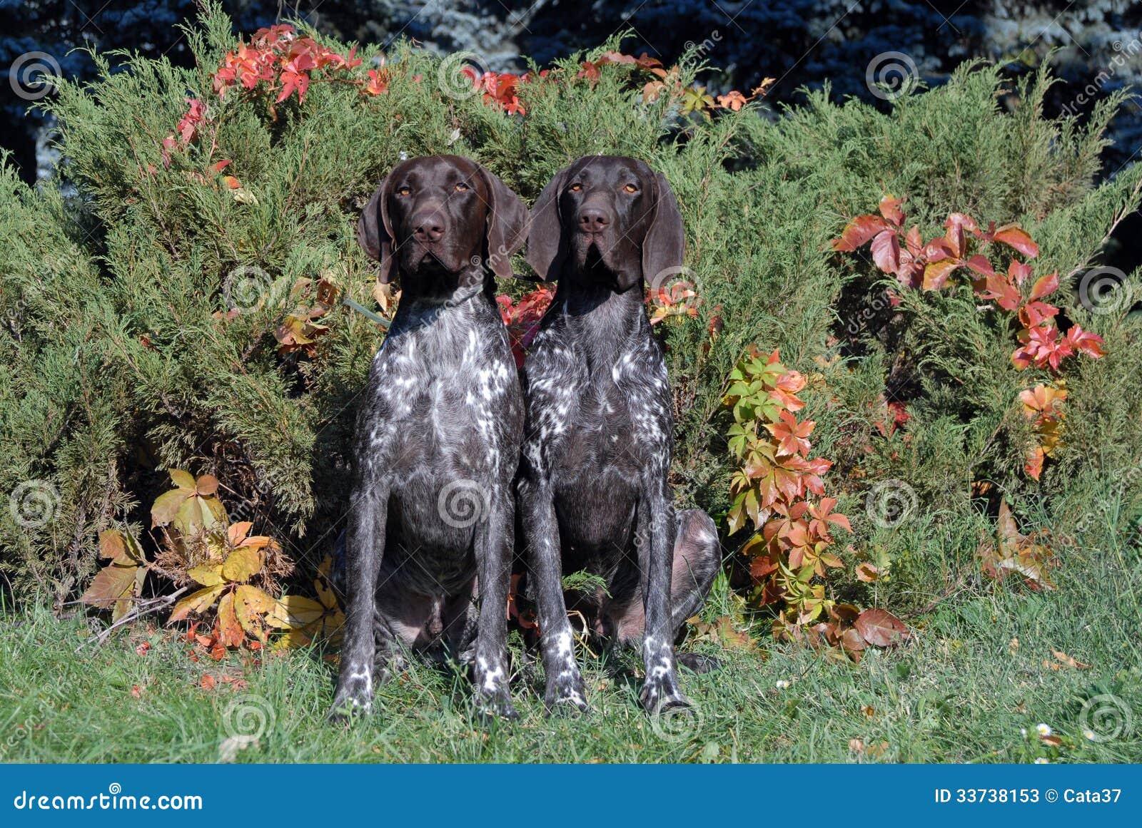 Немецкая Коротк-с волосами указывая собака