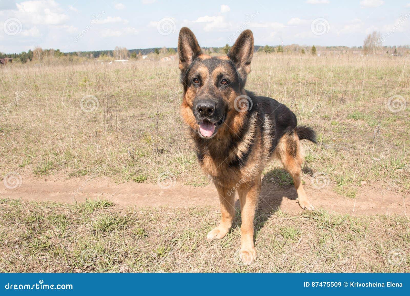 Немецкая овчарка собаки в весеннем дне