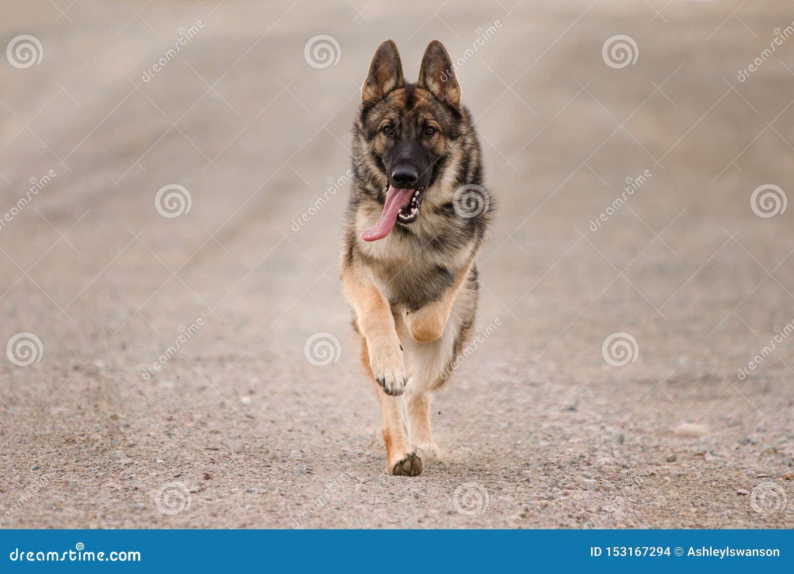 Немецкая овчарка соболя бежать с языком вне