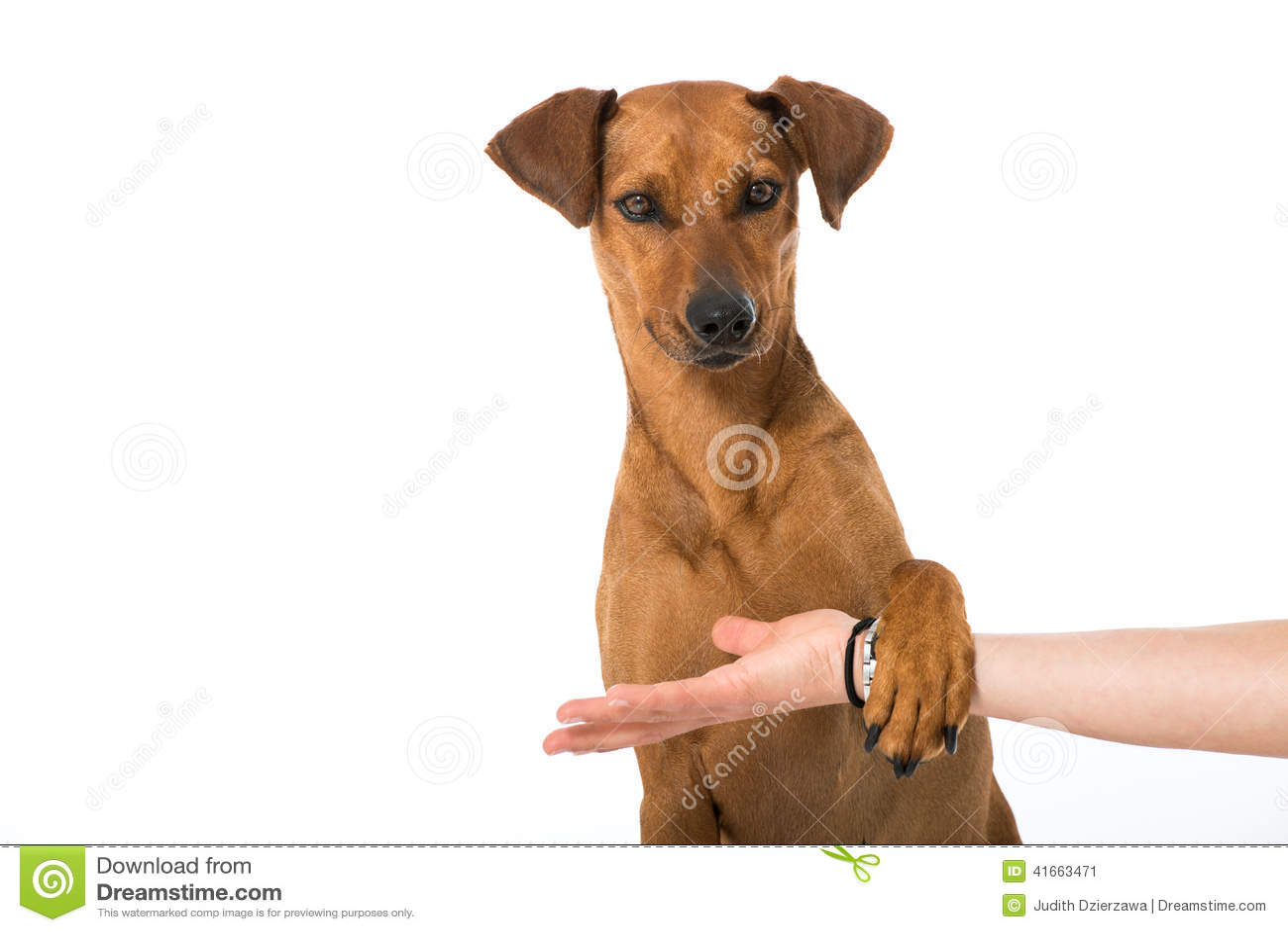 Немецкая собака pinscher