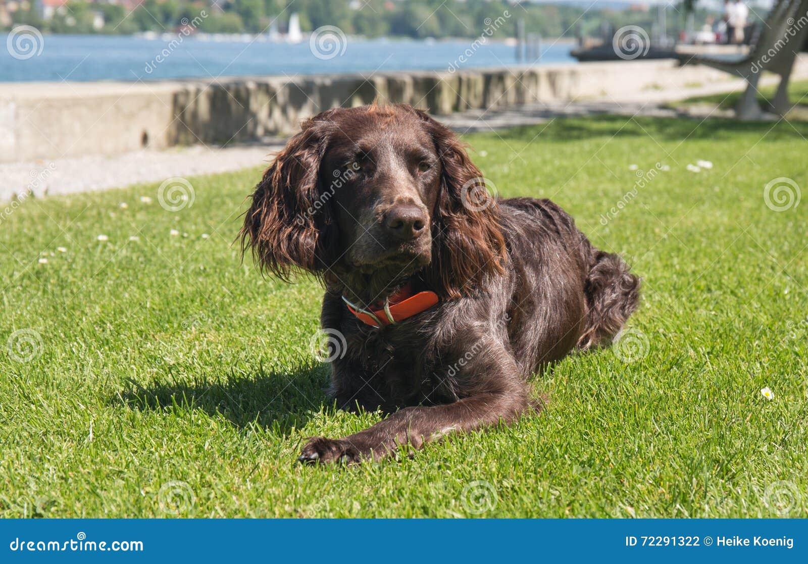 Download Немецкая собака spaniel стоковое фото. изображение насчитывающей друзья - 72291322