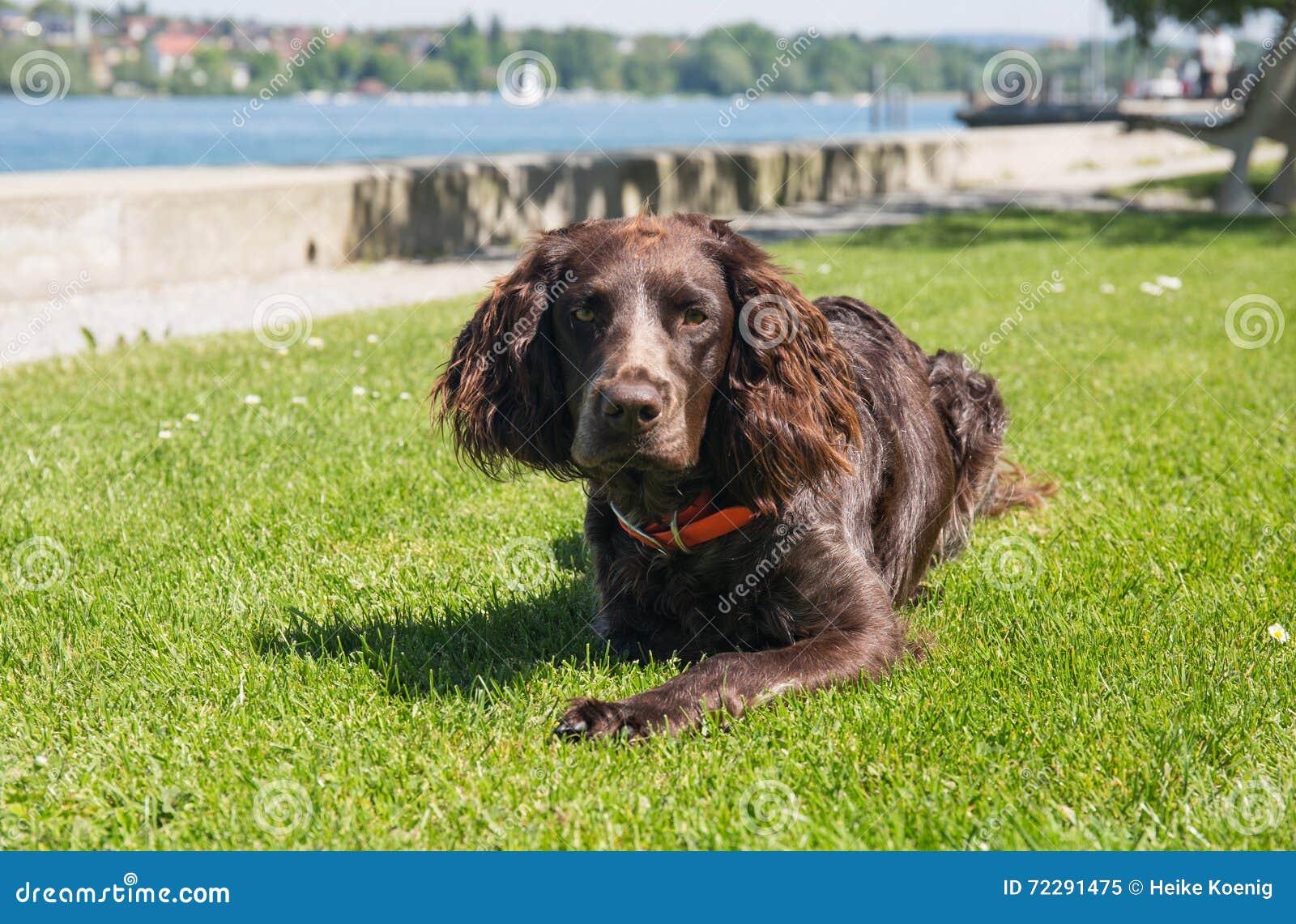 Download Немецкая собака spaniel стоковое изображение. изображение насчитывающей черный - 72291475