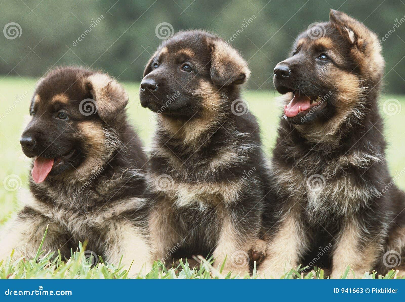 немецкие щенята shepherd 3
