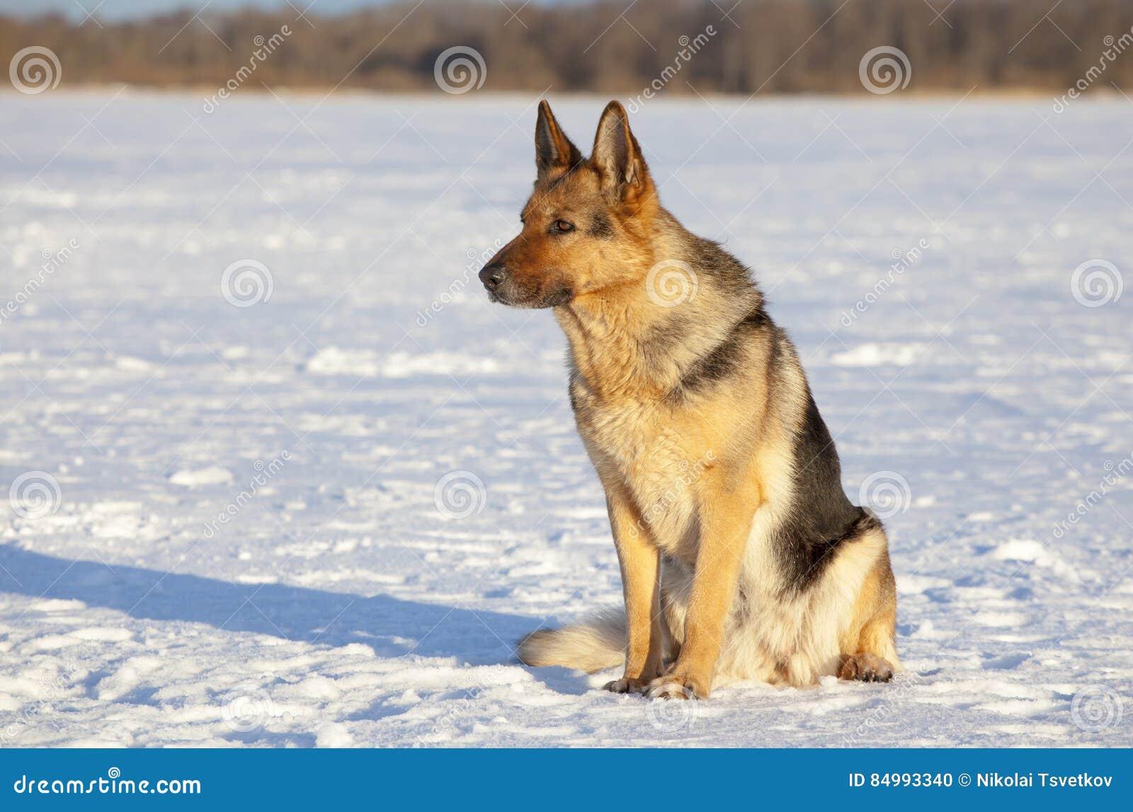 немецкий sheepdog