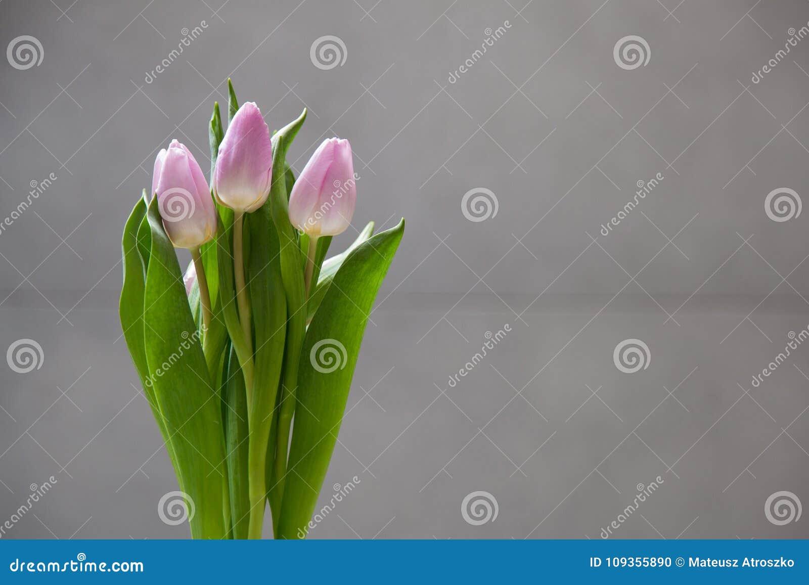 Немногие розовые тюльпаны цветут на серой абстрактной предпосылке Изолированные цветки на предпосылке нерезкости с космосом экзем