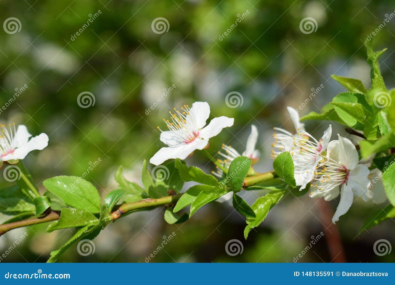 Немногое белые цветки на ветви дерева