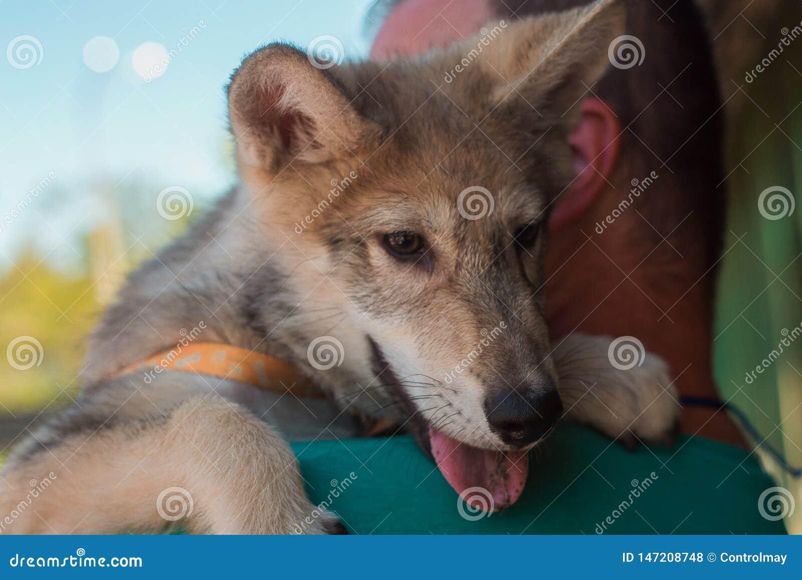 Немногое волк в оружиях человека