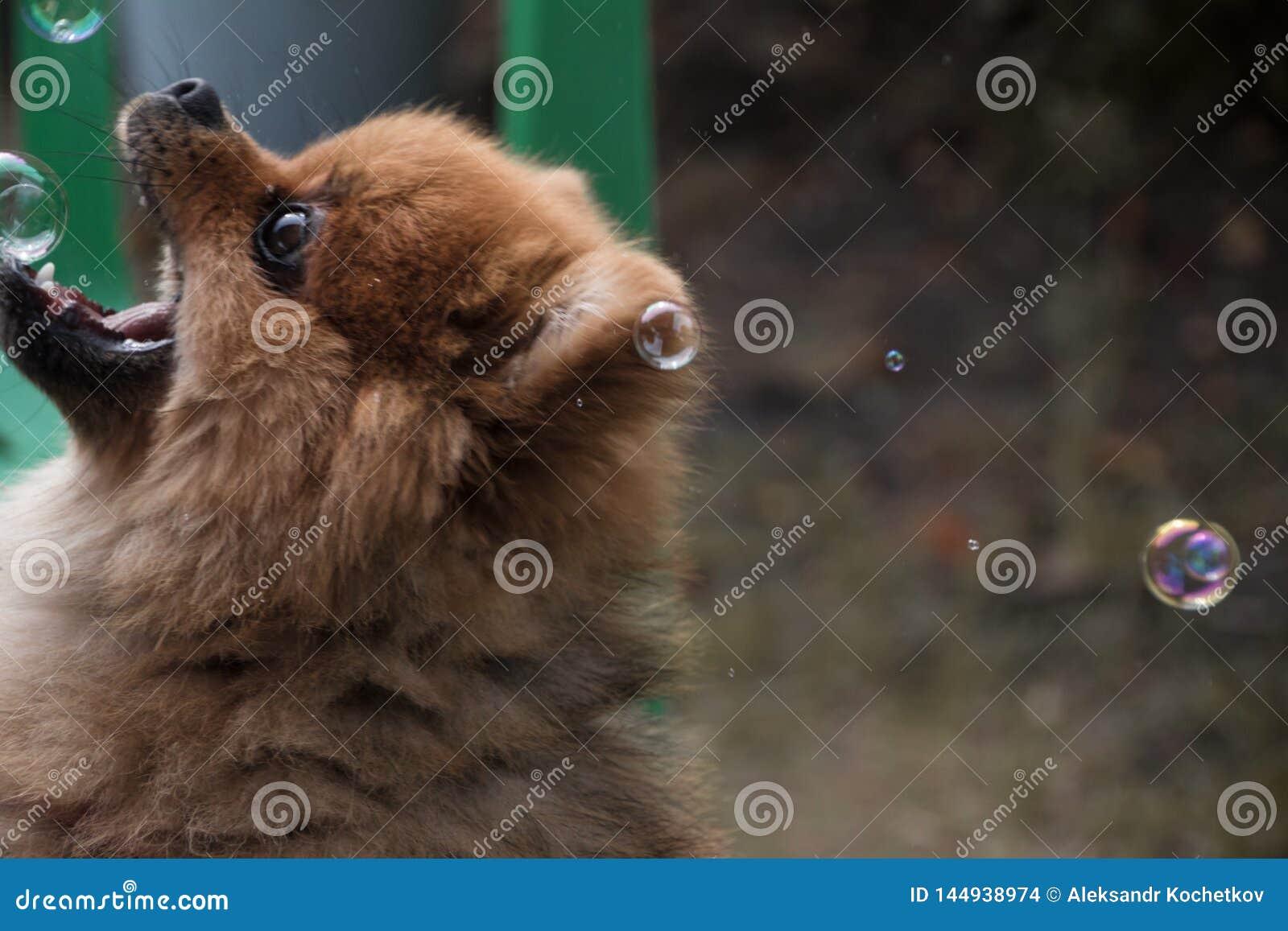 Немногое шпиц в ливне Big Bear