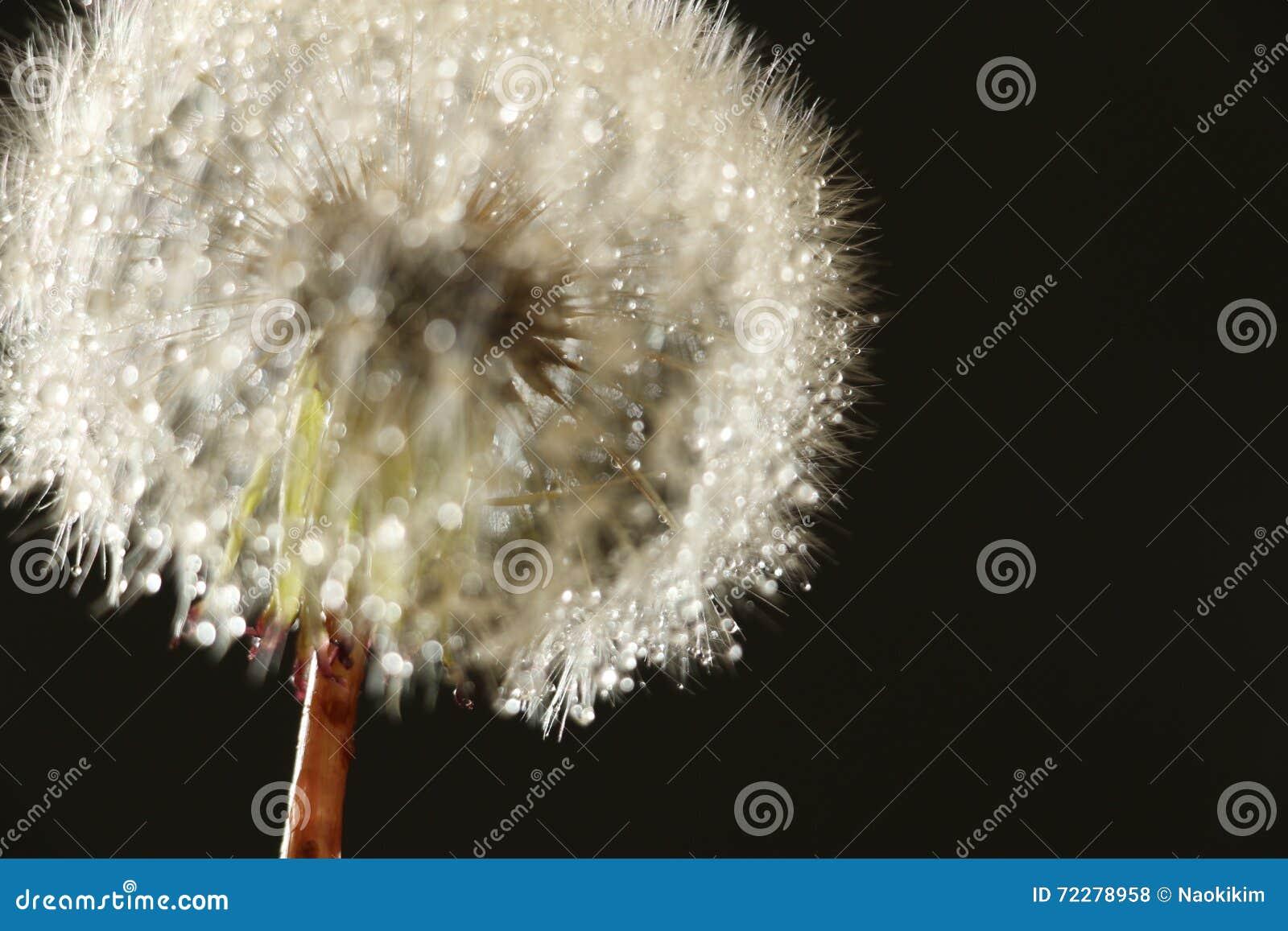 Download Ненастный конспект семени одуванчика в черном #2 Стоковое Фото - изображение насчитывающей падение, нерезкости: 72278958
