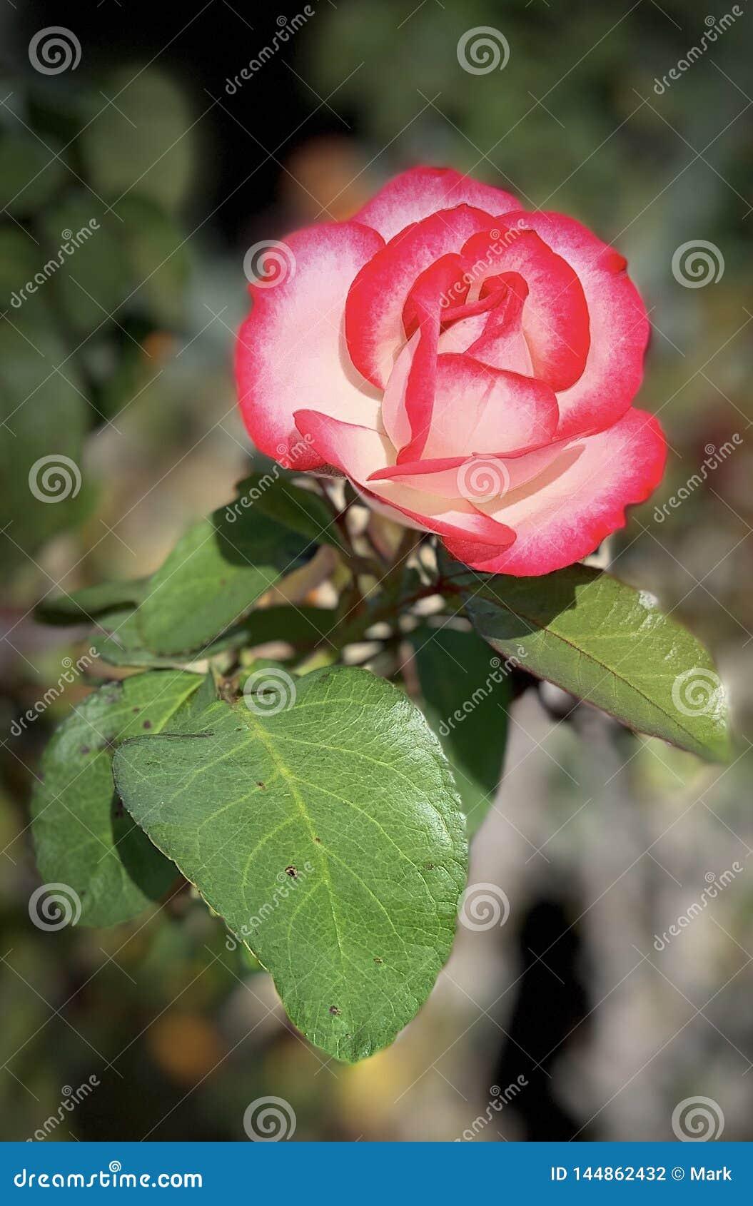Неотразимый двойник краснеет цветение