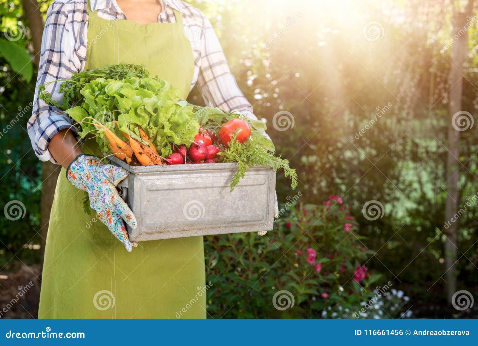 Непознаваемый женский фермер держа клеть полный свеже сжатых овощей в ее саде Доморощенная био продукция