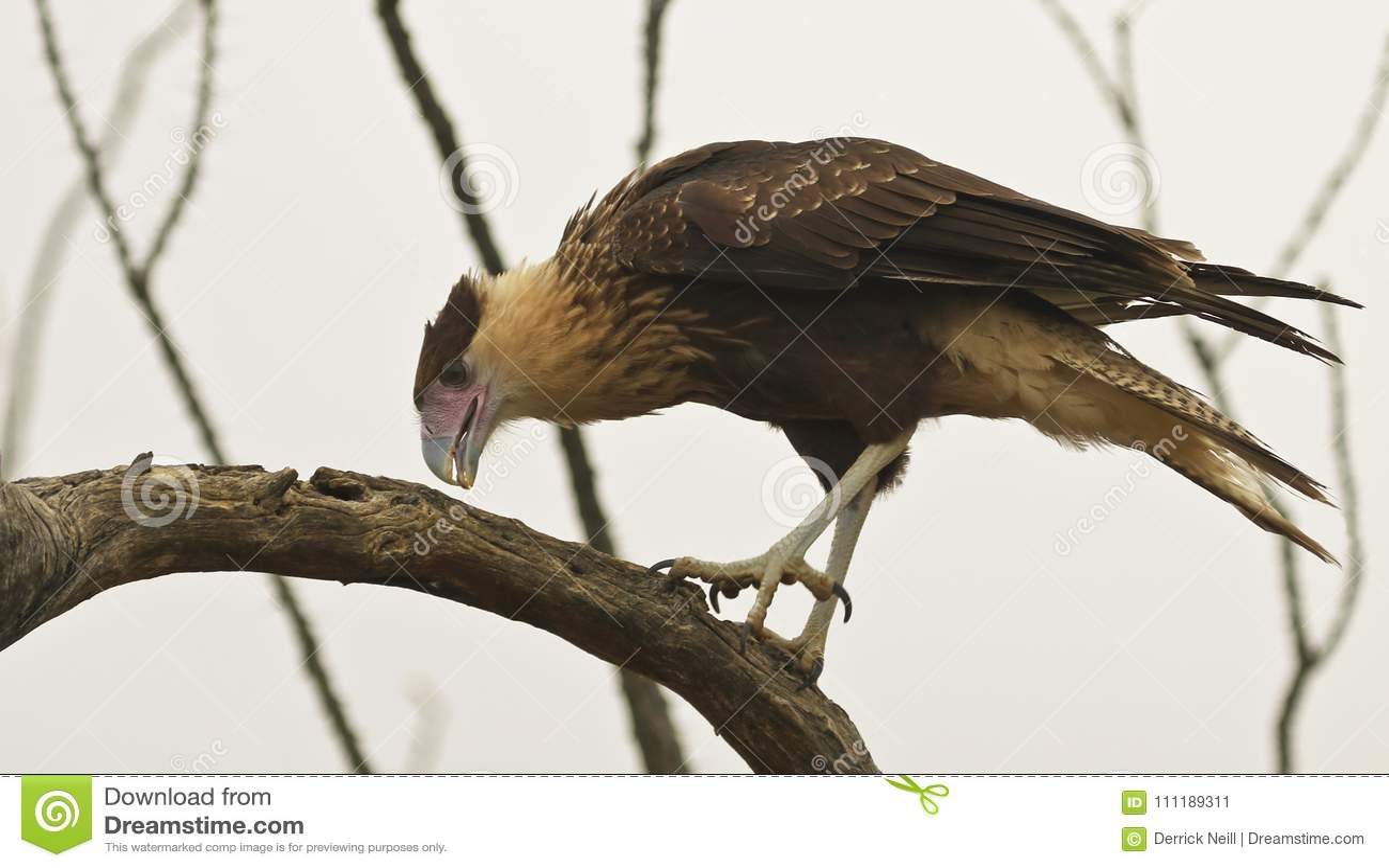 Неполовозрелый северный Crested Caracara, Caracara cheriway