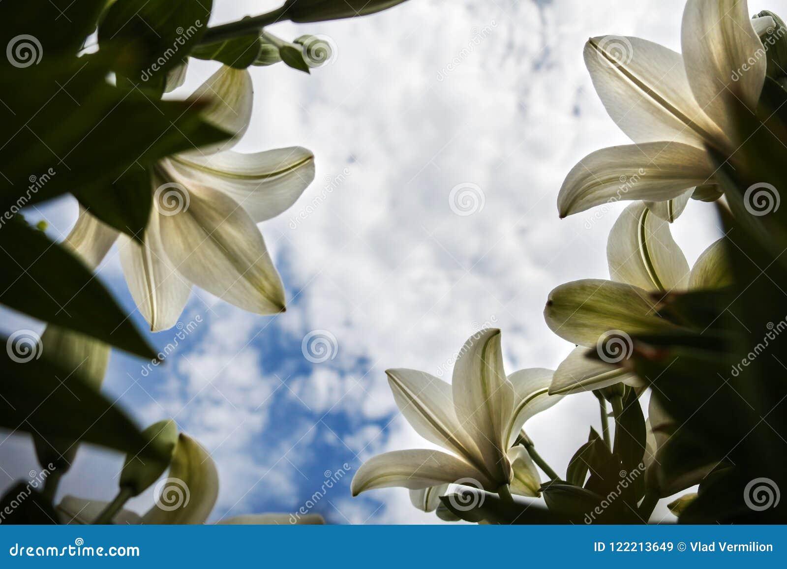 Несколько белых цветки и голубого неба с облаками