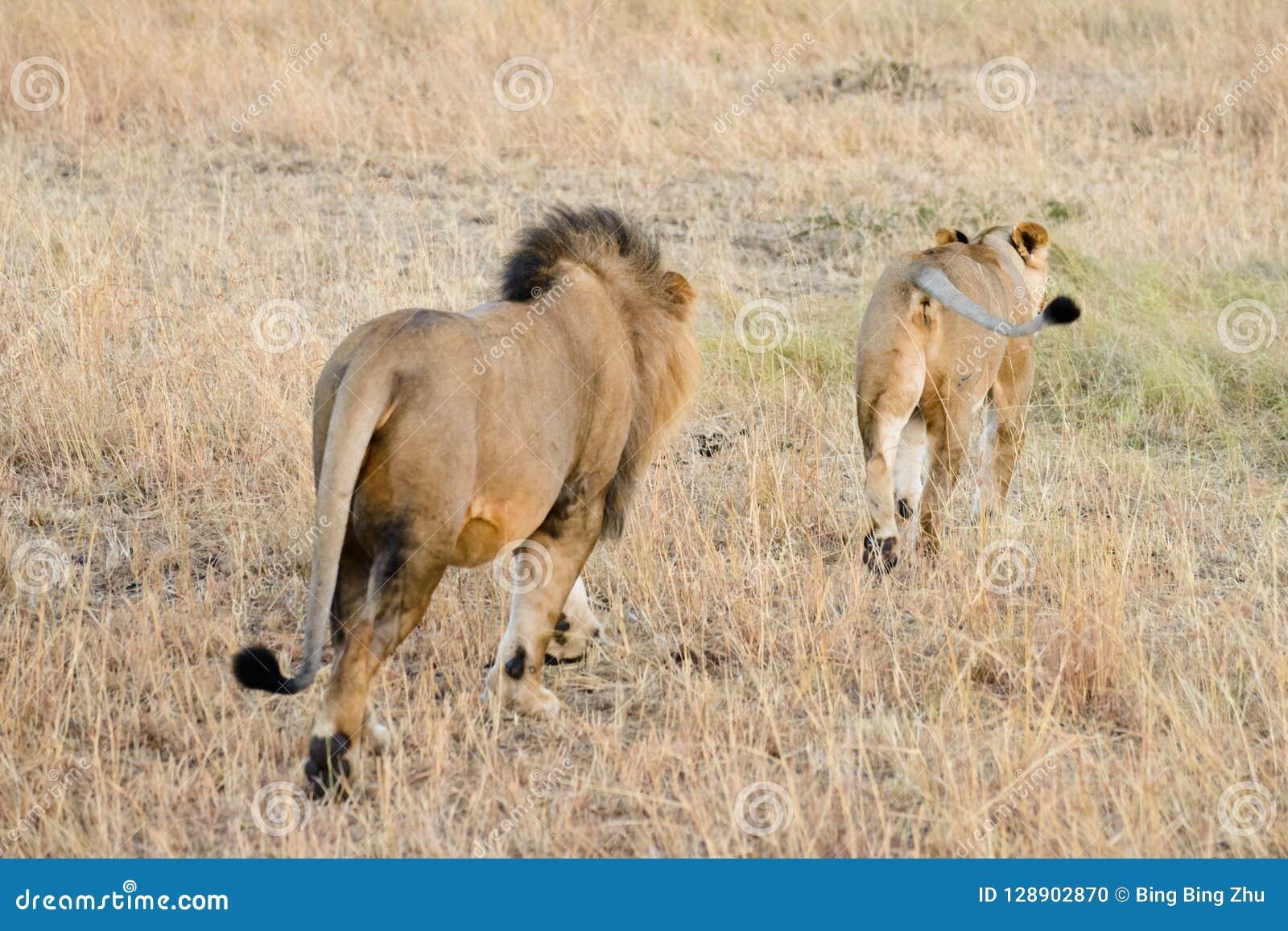 Несколько лев Африки