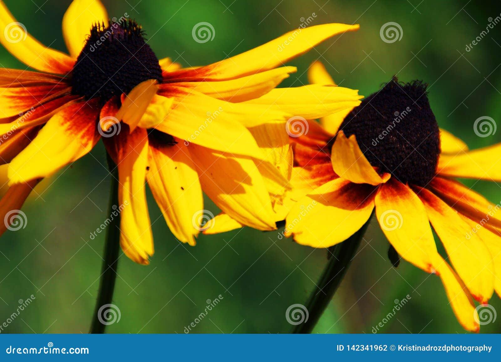 Несколько черные наблюданные цветки Сьюзан