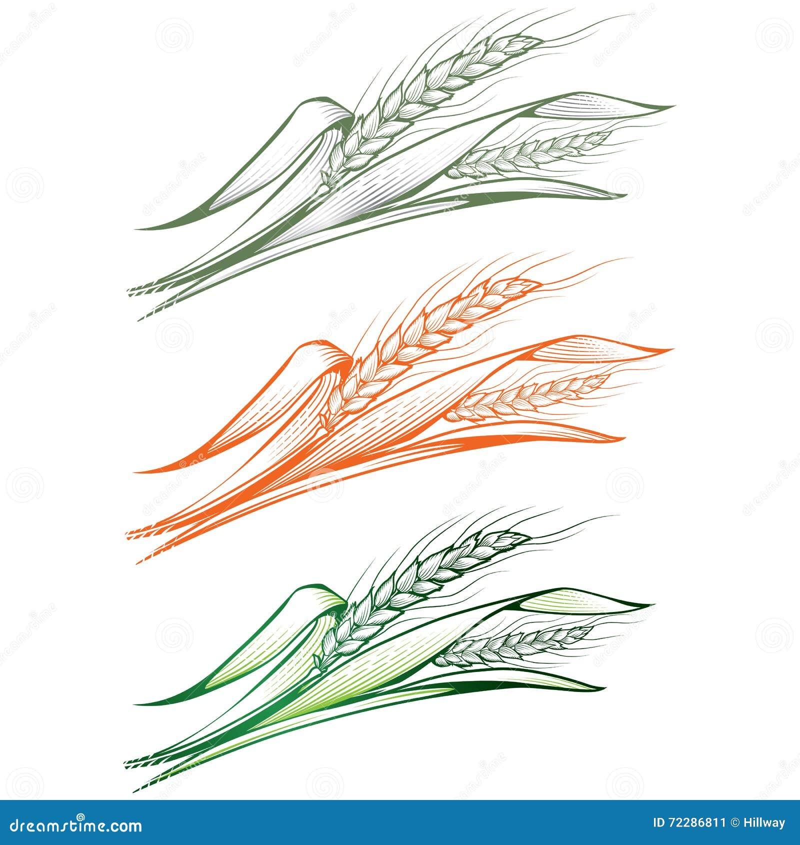 Download Несколько зрелых и молодых зеленых ушей пшеницы Иллюстрация вектора - иллюстрации насчитывающей сельско, aiders: 72286811