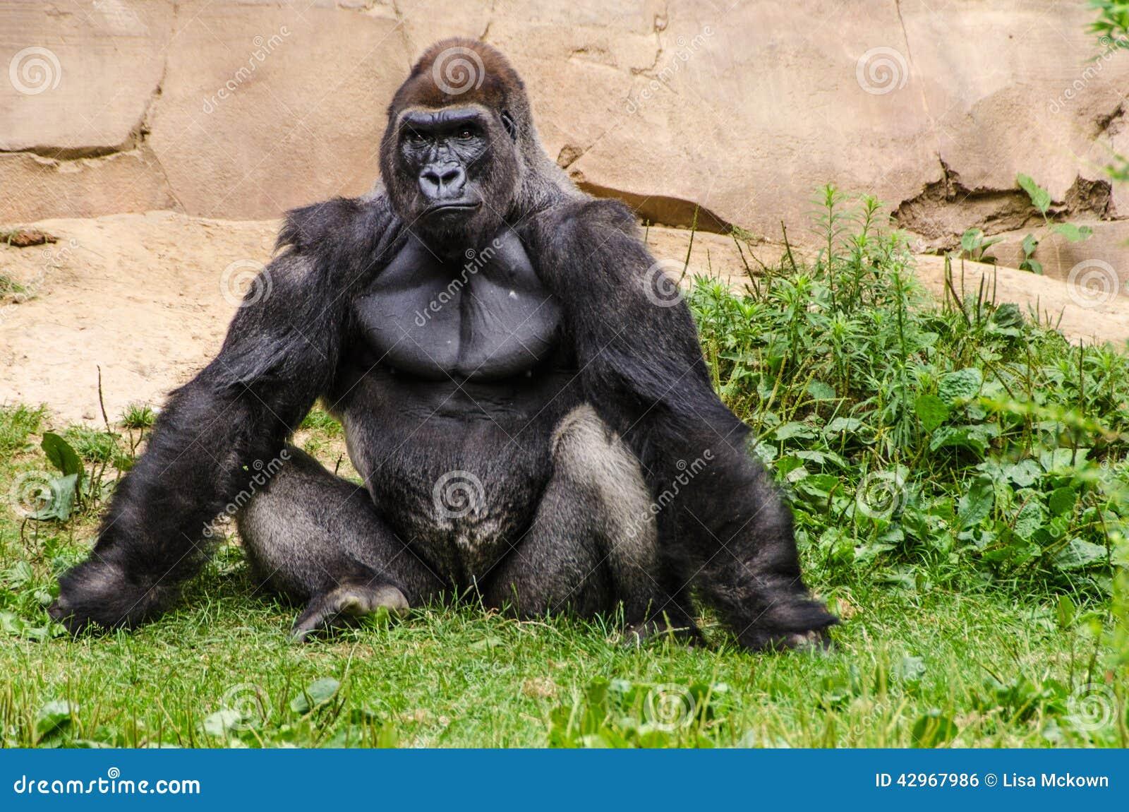 низменность гориллы западная