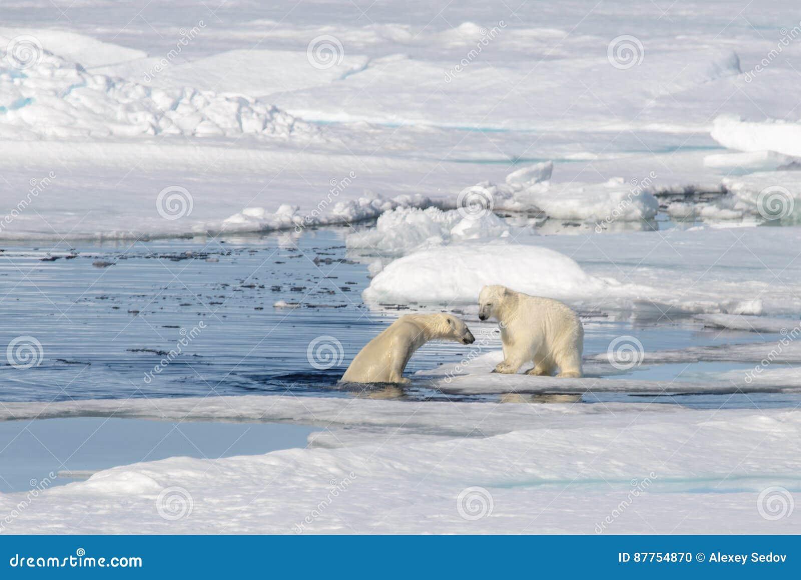 2 новичка полярного медведя играя совместно на льде