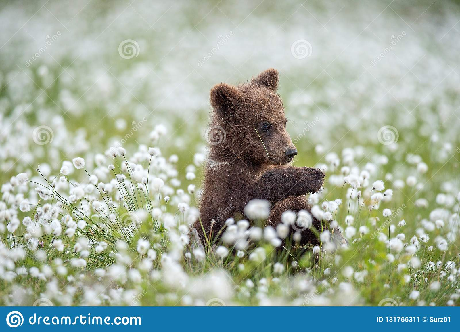 Новичок бурого медведя в лесе лета среди белых цветков