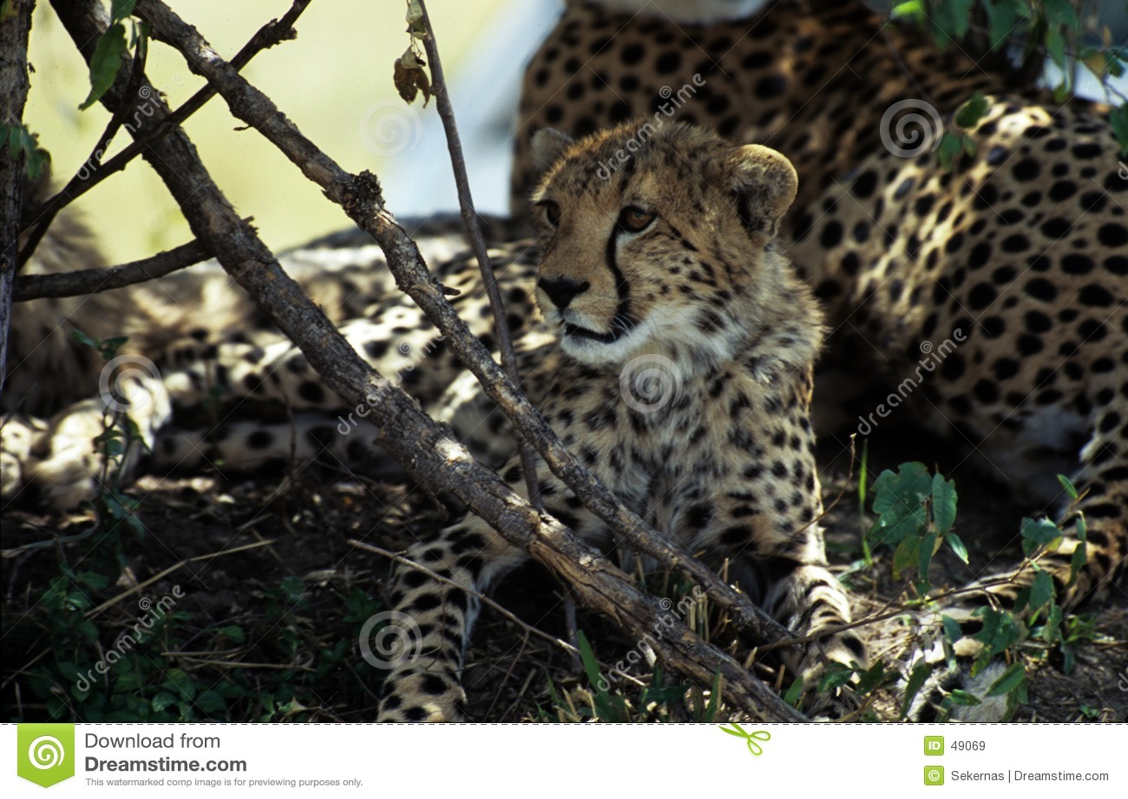 новичок гепарда большой