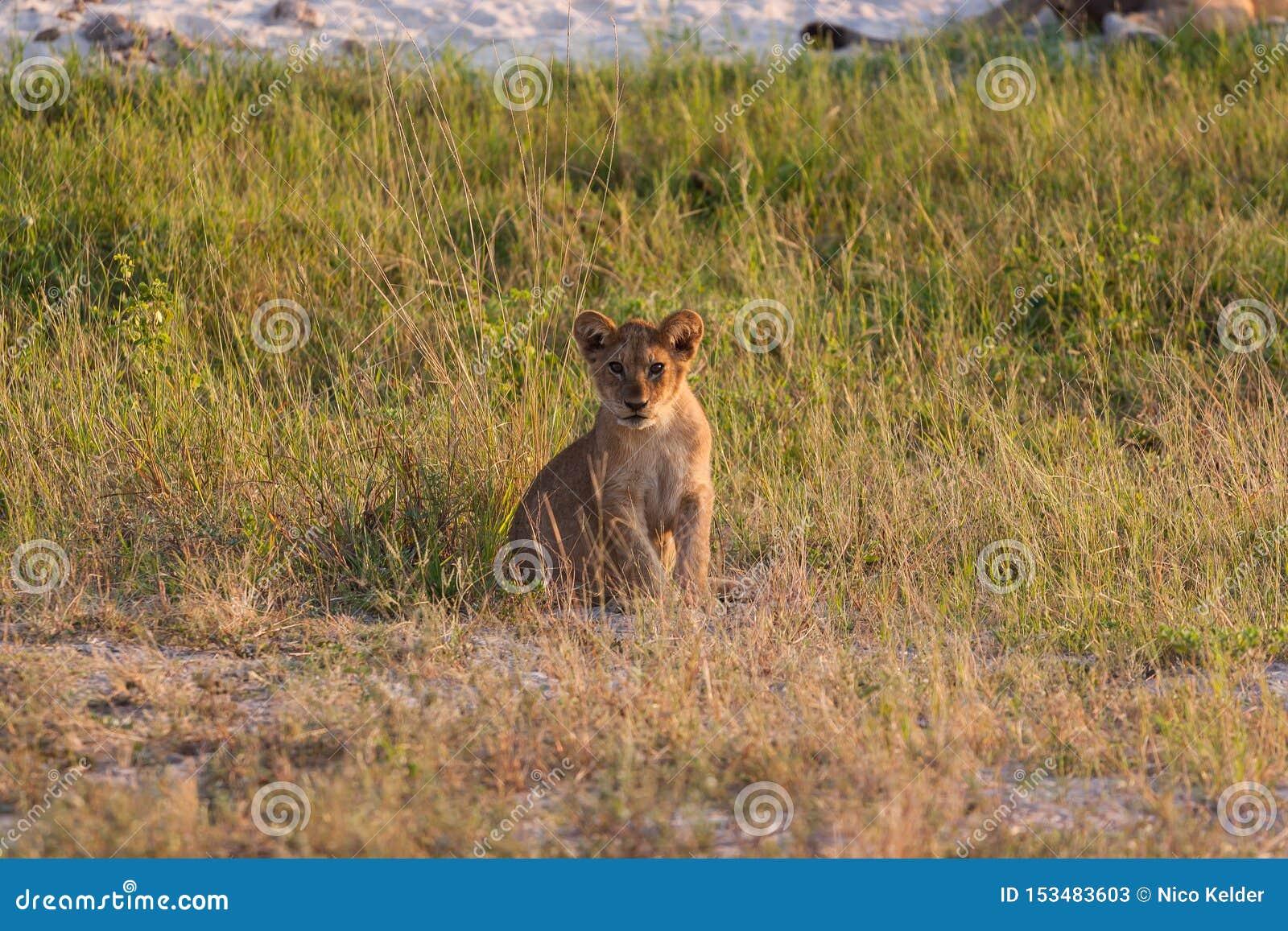 Новичок льва ослабляя на саванне национального парка Chobe