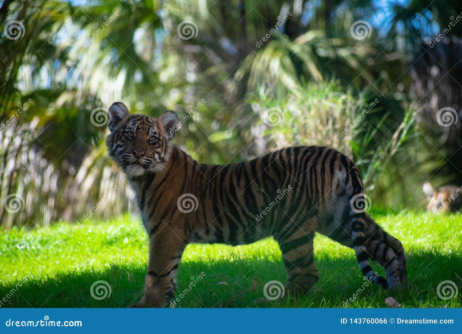 Новичок тигра вытаращить на мне