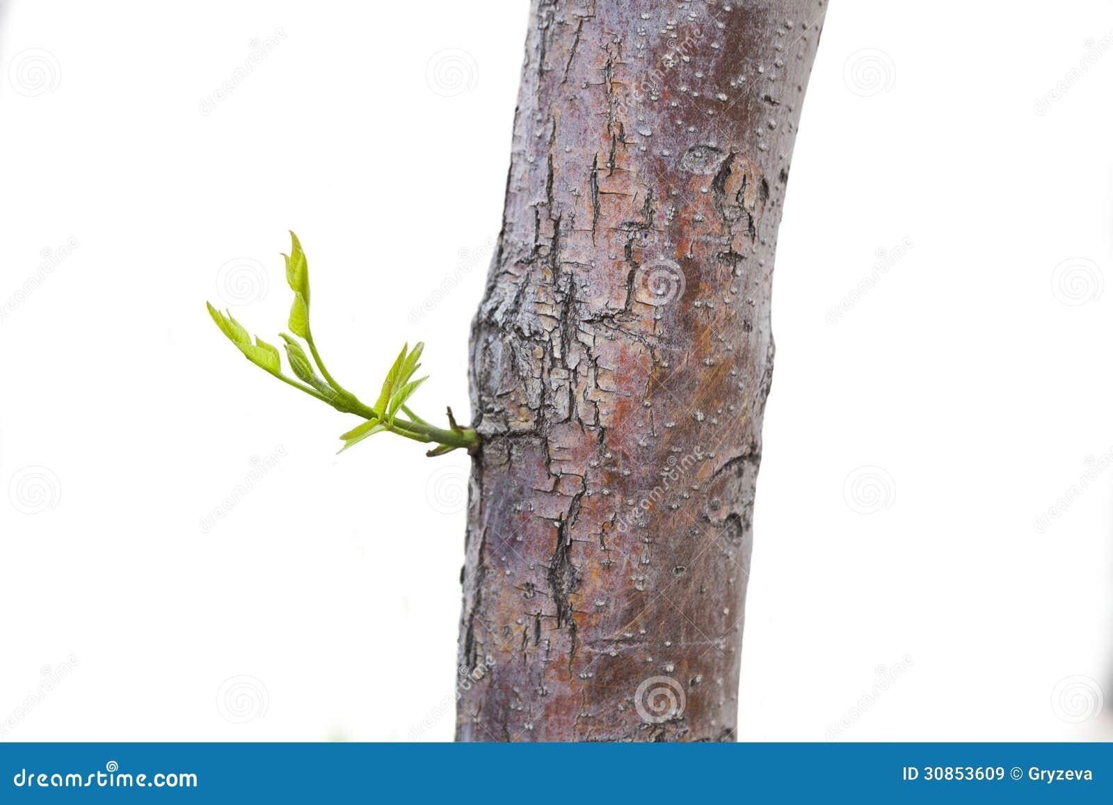 Новые лист на стволе дерева