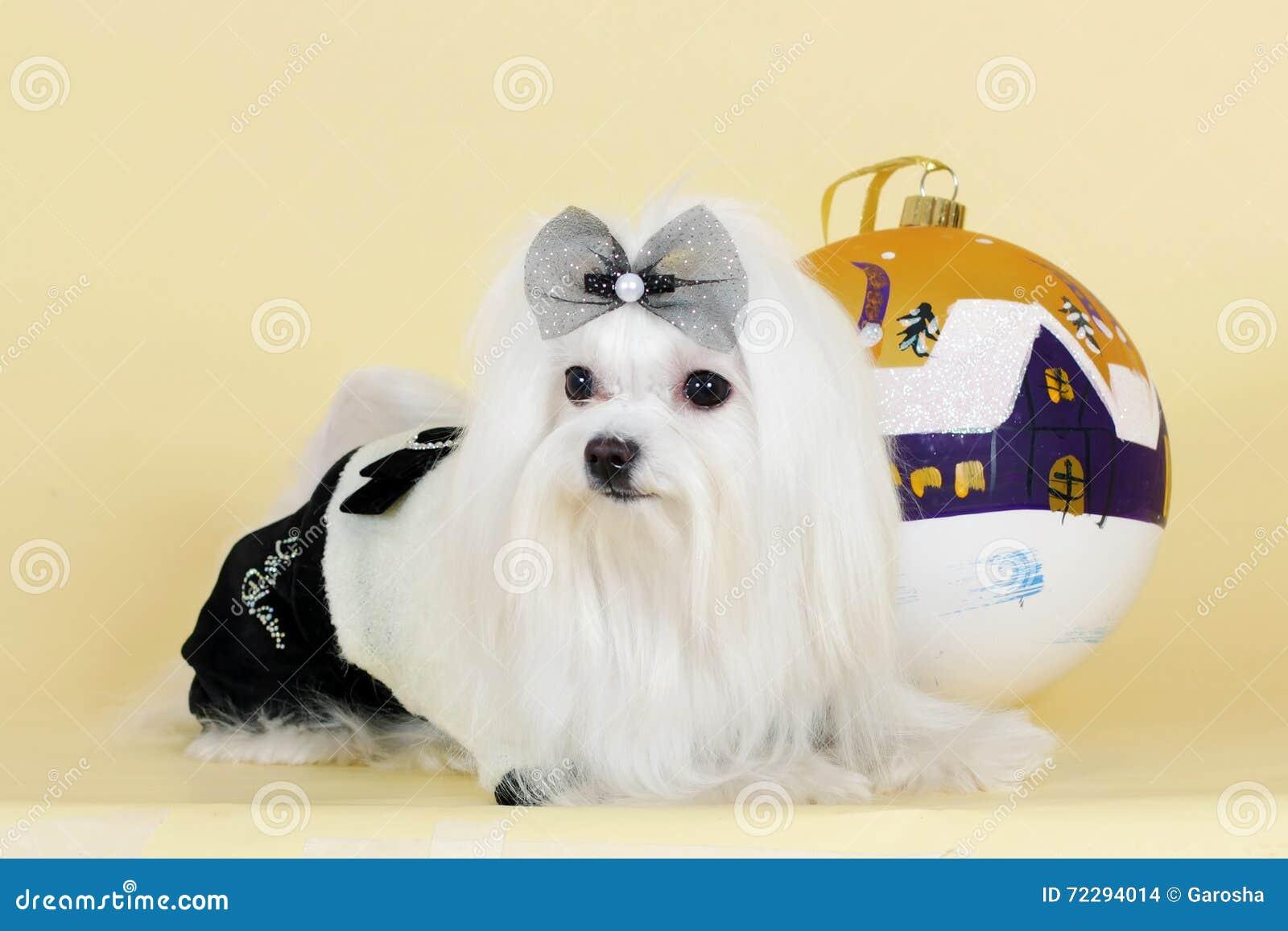 Download Новый Год милой собаки мальтийсный Стоковое Фото - изображение насчитывающей рождество, ангстрома: 72294014