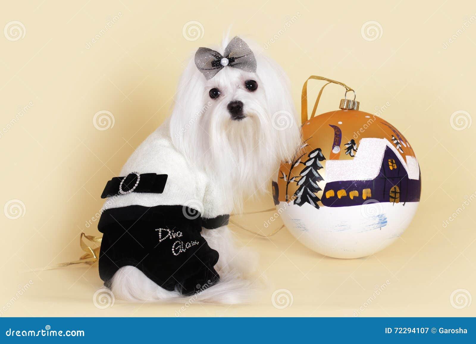 Download Новый Год милой собаки мальтийсный Стоковое Изображение - изображение насчитывающей самомоднейше, costume: 72294107