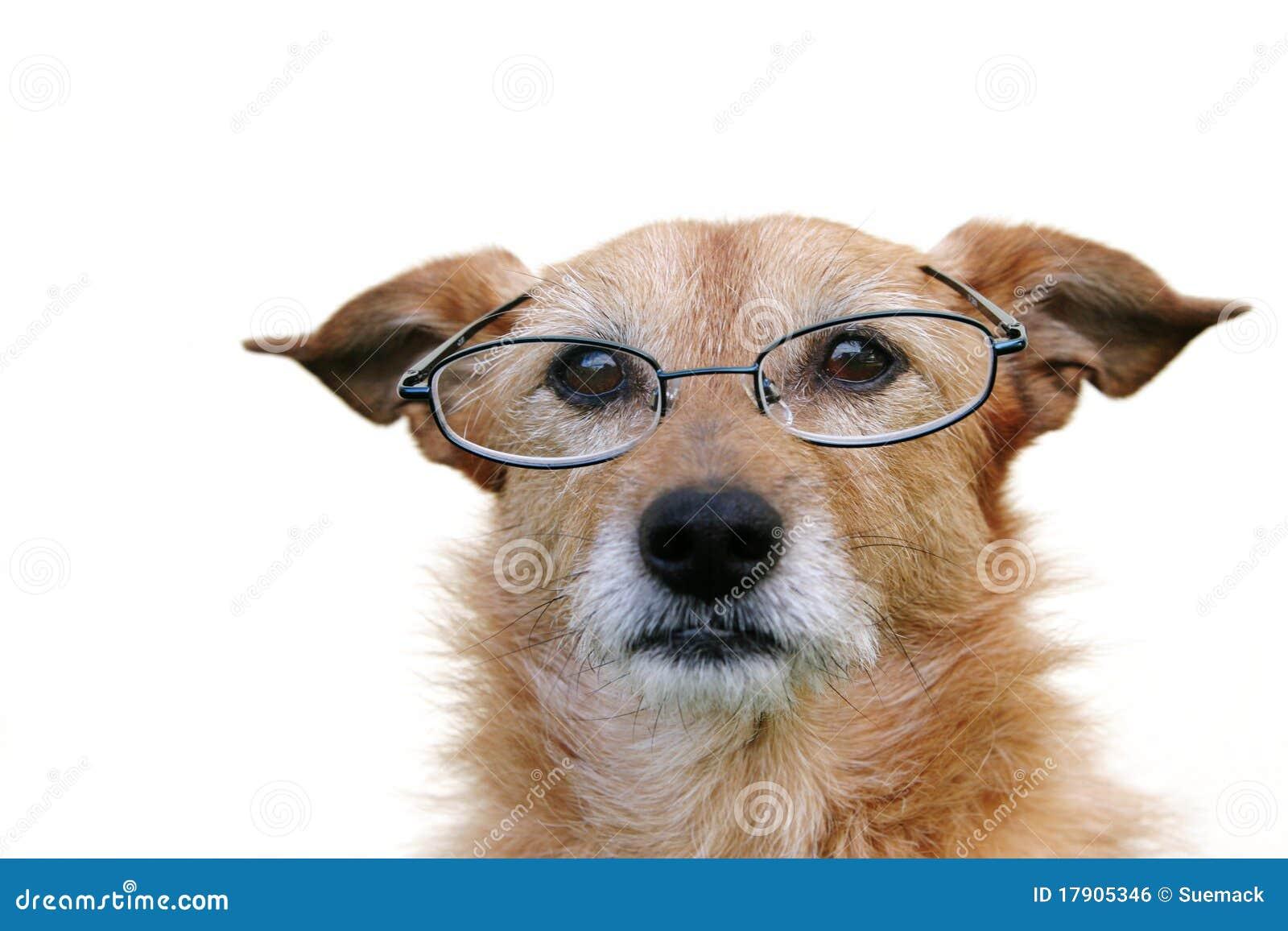 носить стекел собаки