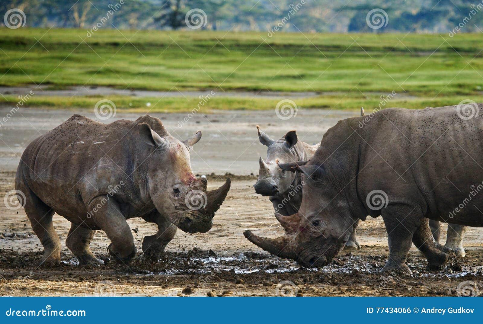 Носорог 2 воюя друг с другом Кения Национальный парк вышесказанного