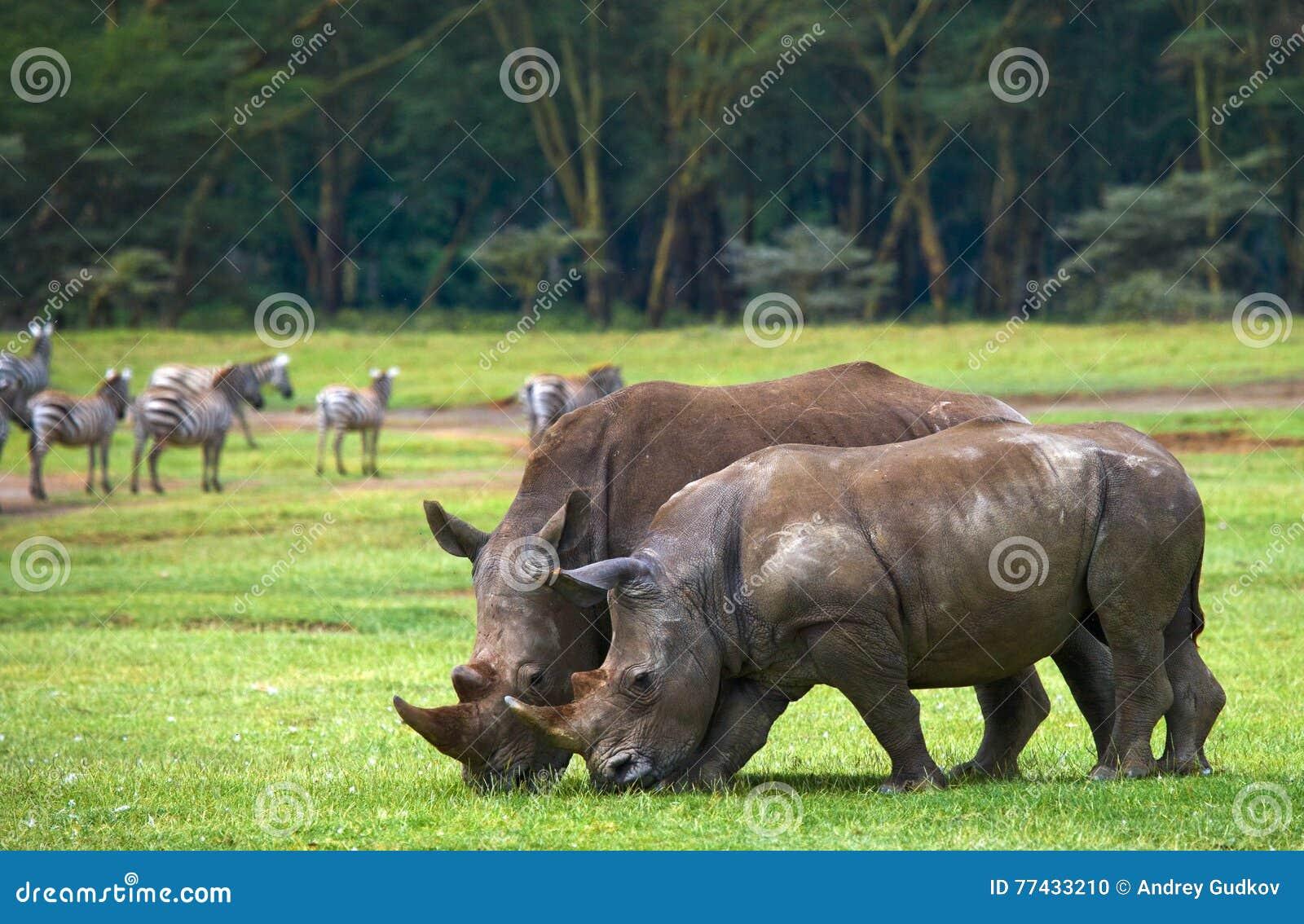Носорог 2 в саванне Национальный парк вышесказанного