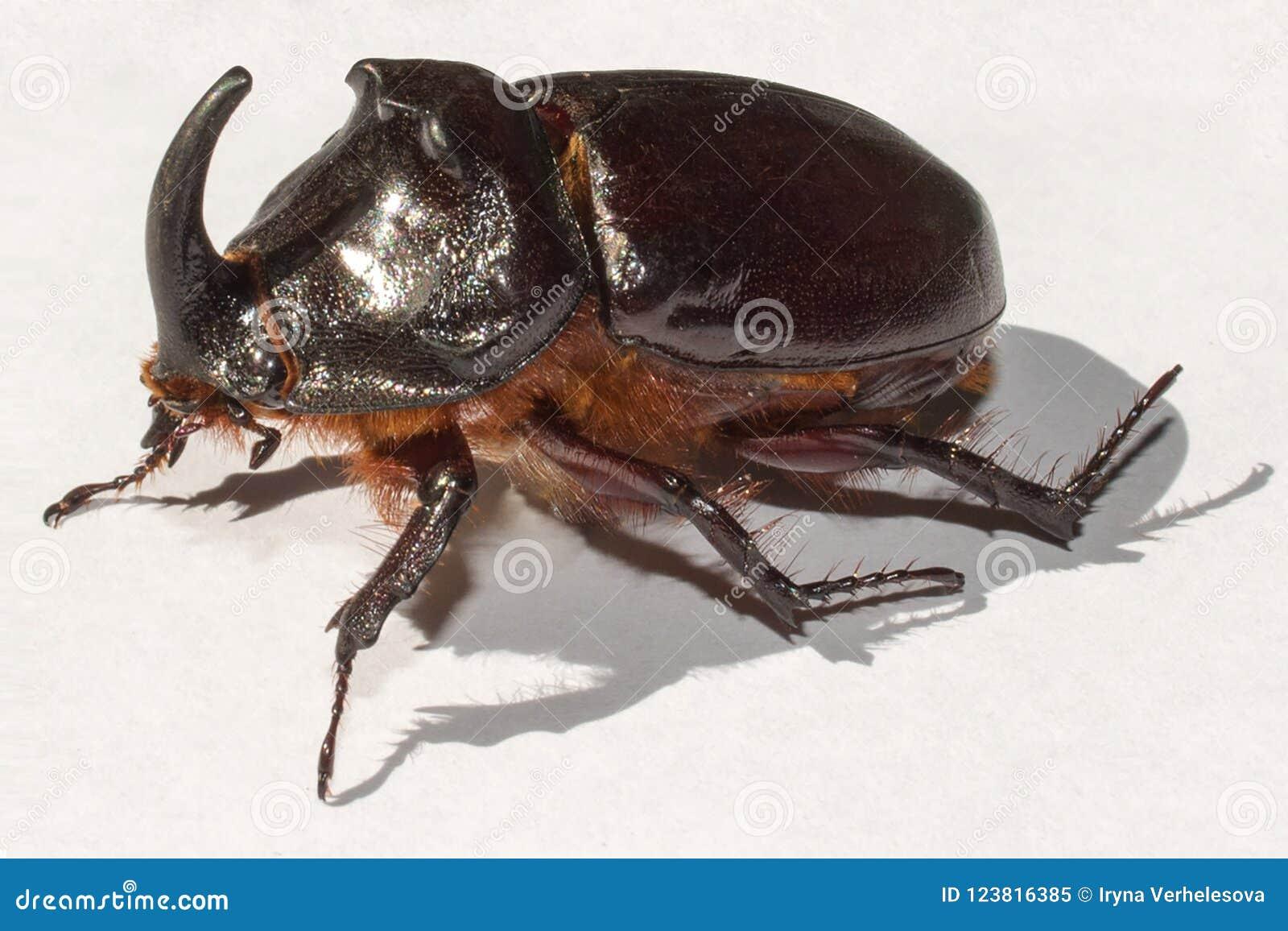 Носорог жука на белой предпосылке, макросе