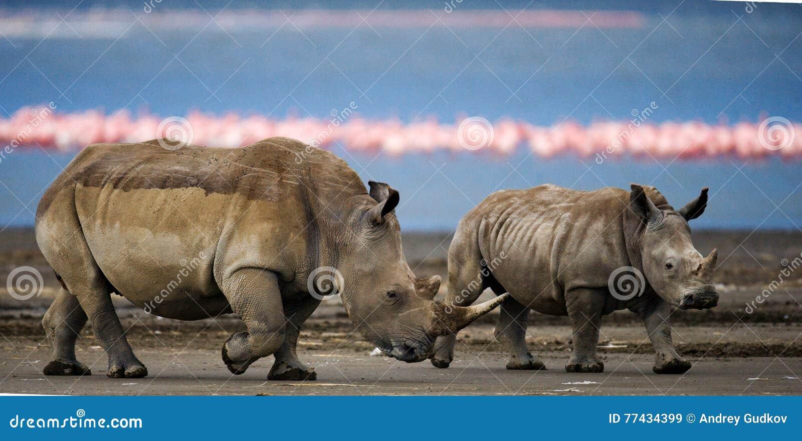 Носорог 2 идя на предпосылку фламинго в национальном парке Кения Национальный парк вышесказанного