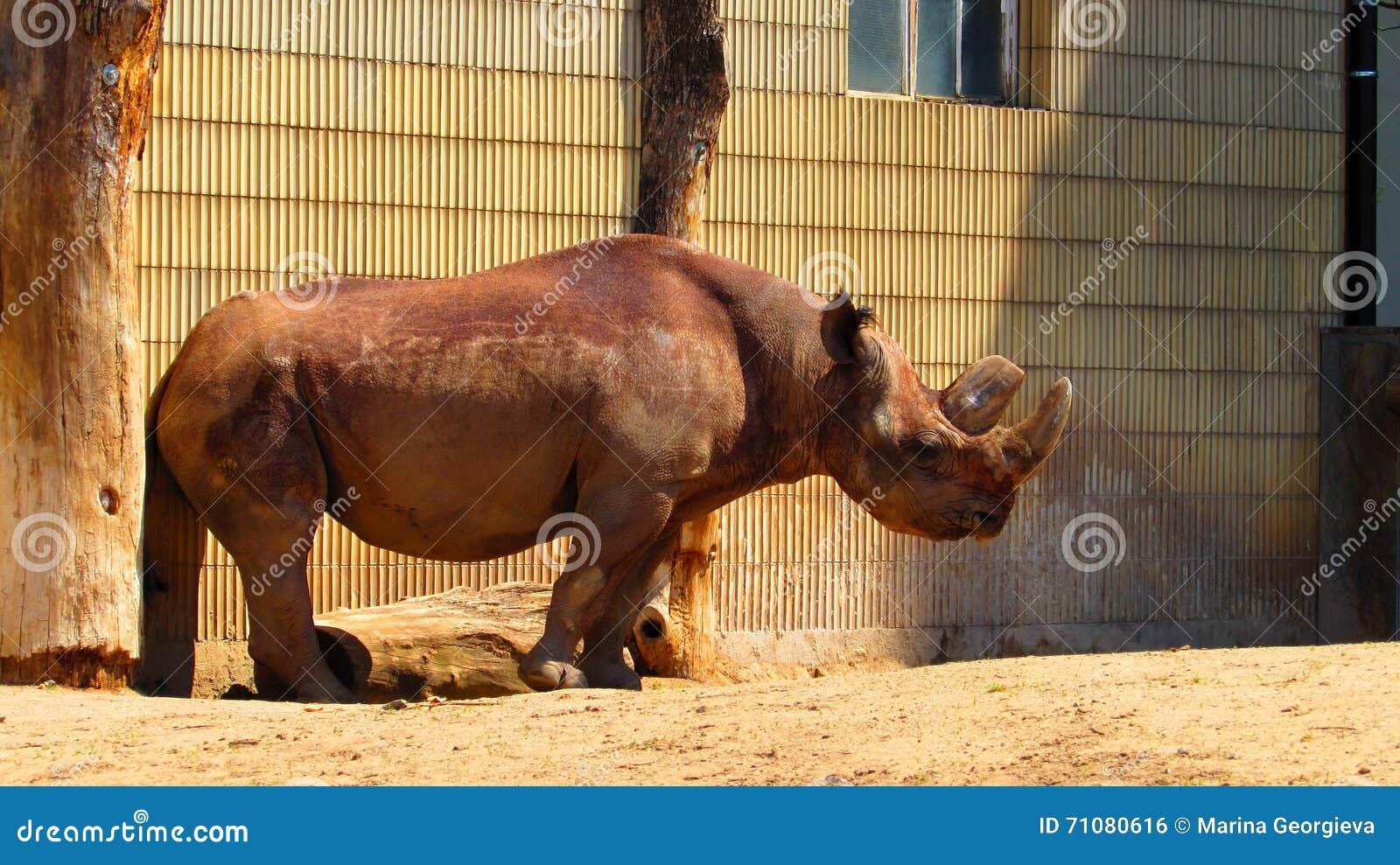 Носорог на зоопарке Франкфурта