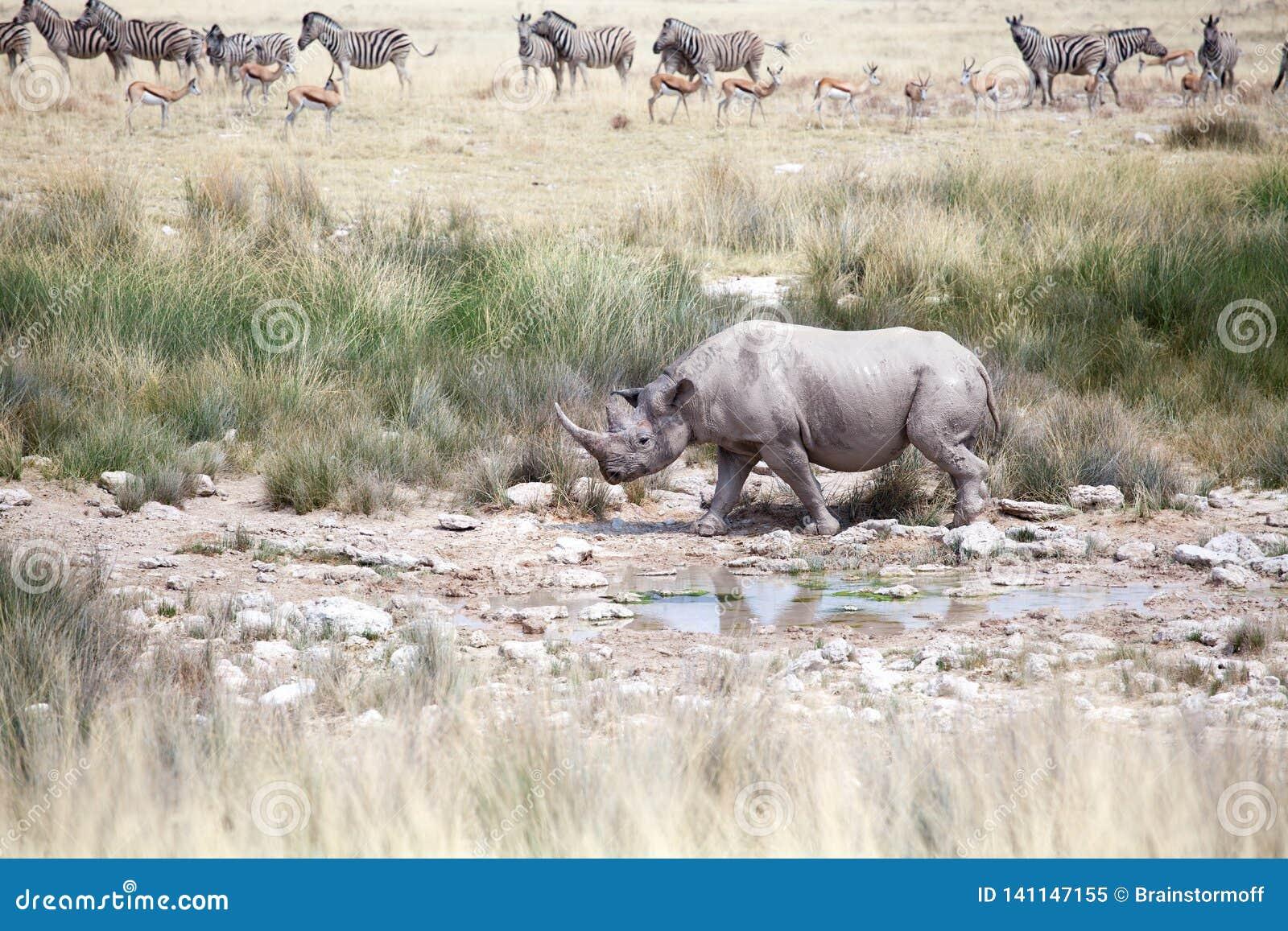 Носорог с 2 бивнями в национальном парке Etosha, конце Намибии вверх, сафари в Южная Африка в засушливом сезоне