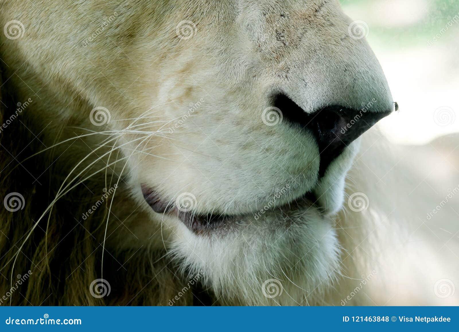 нос и рот белого льва