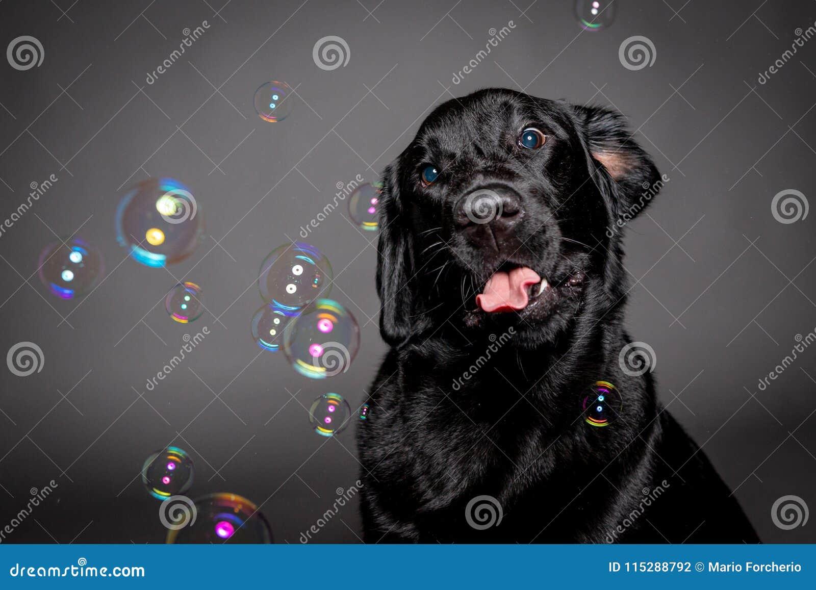 Нуждайтесь labrador при смешное выражение играя с пузырями мыла