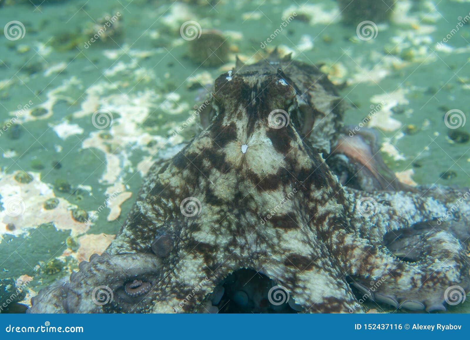 Нырять и подводная фотография, осьминог под водой в своей естественной среде обитания
