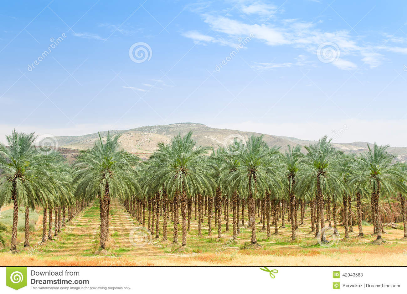 Оазис плантации сада финиковой пальмы в пустыне Ближний Востока