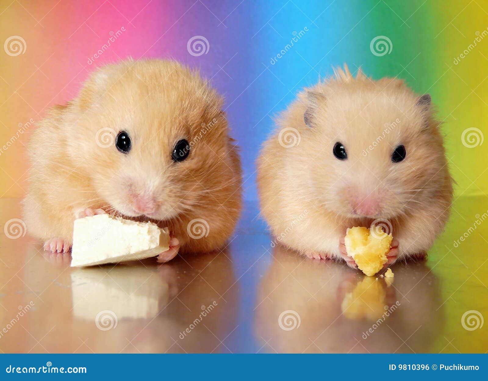 skachat-hamster