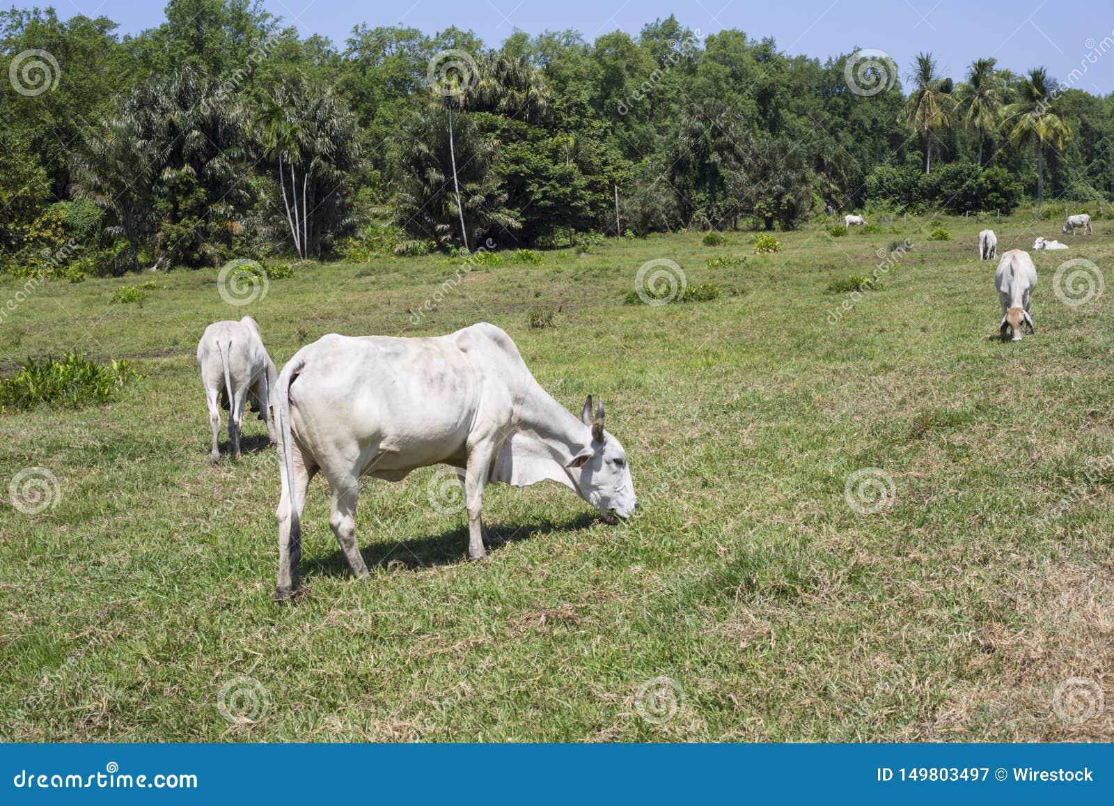 Обезлесение для скотин, Французские Гвианы
