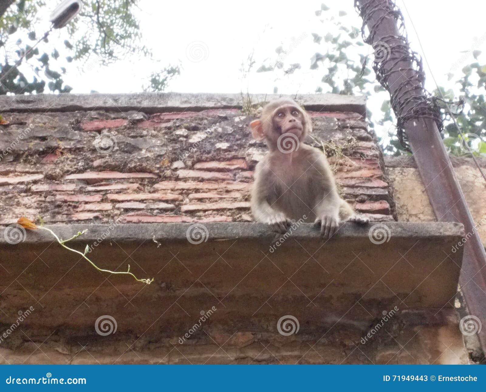 Обезьяна в Священном городе Варанаси в Индии