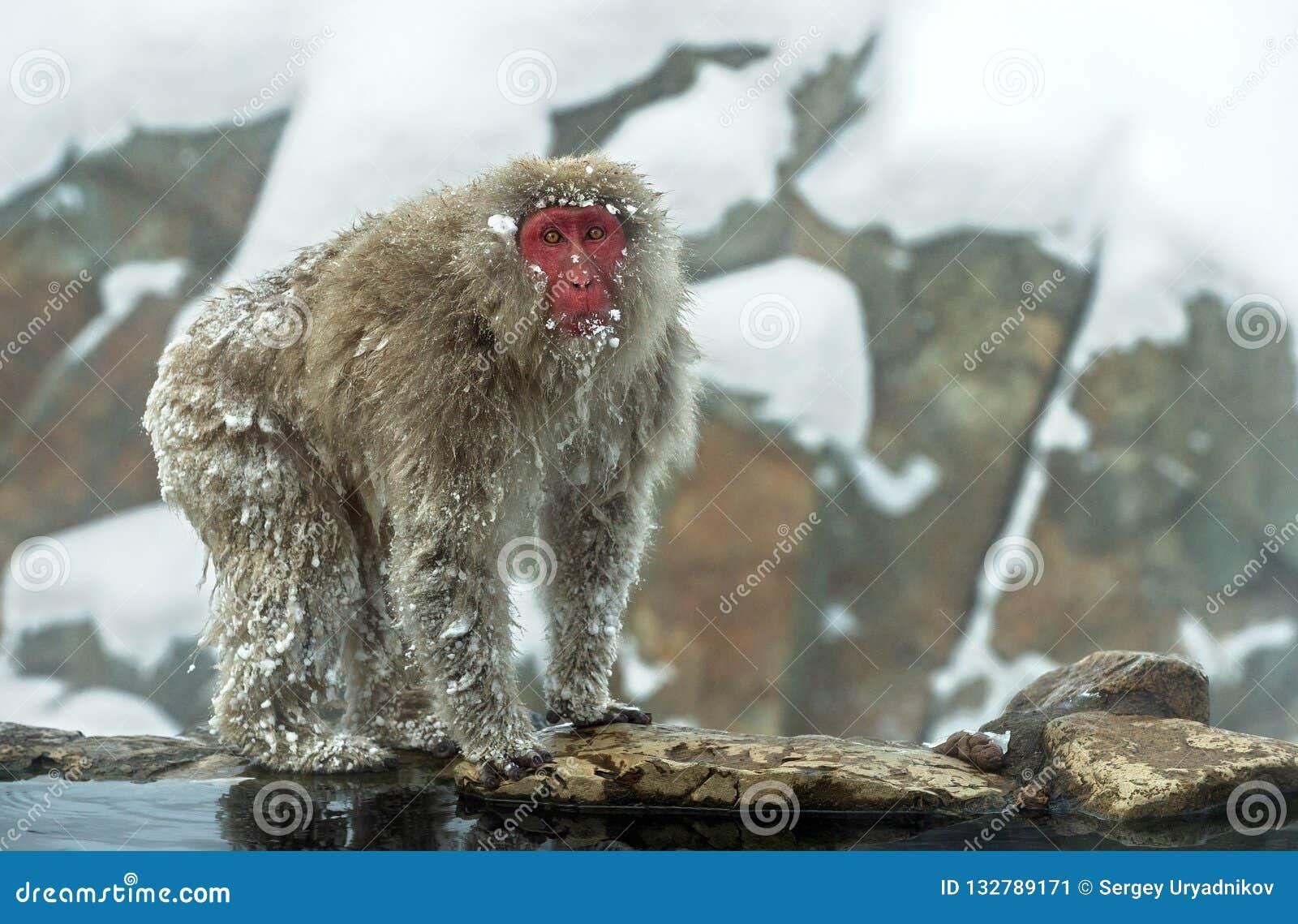 Обезьяна снега Японская макака (научное имя: Fusc Macaca