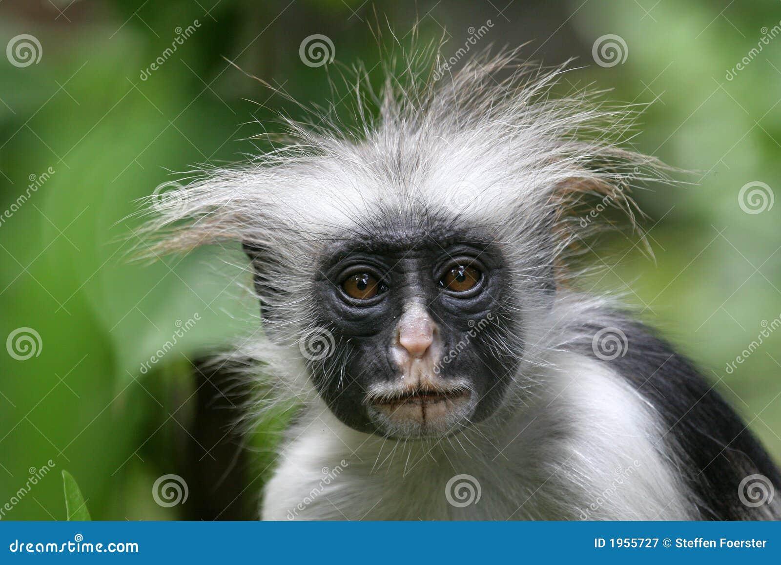 обезьяна colobus